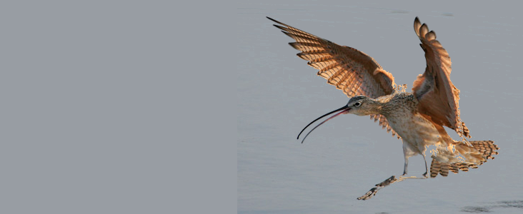 Critically endangered Eskimo Curlew